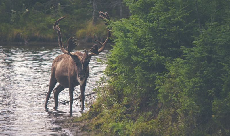 Brown reindeer in the wild standing in a river next to a cluster of greenery